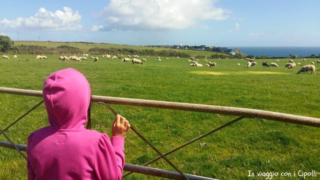 Prati e pecore in Cornovaglia
